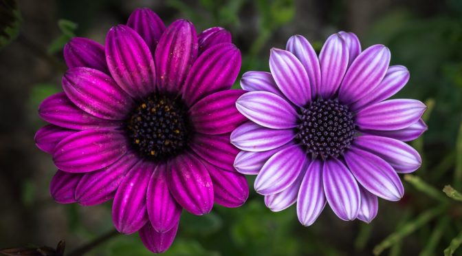 flowers one purple one pink